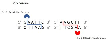 Restriction_Enzyme